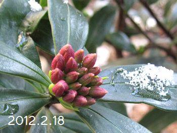 沈丁花と雪